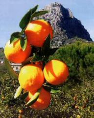 Βιολογικα πορτοκάλια καλής ποιότητας