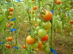 Ντομάτα τσαμπί καλής ποιότητας