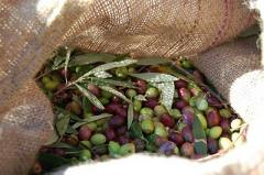 Ελιές Καλαμών σε άλμη με διάφορα αρωματικά φυτά.