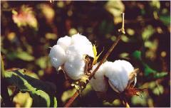 Σπόροι βαμβακιού
