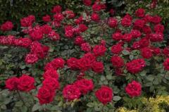 Τριαντάφυλλα αναριχώμενα, Τριαντάφυλλα δενδρώδη,