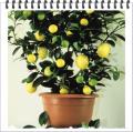 Ποικιλίες Λεμονιάς