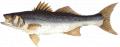Ψαρι Λαβράκι από ελληνικό παραγωγό