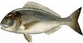 Ψαρι Τσιπούρα καλης ποιότητας από ελληνικό παραγωγό