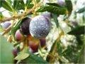ελαιόδενδρα όλες οι ποικιλίες σε διάφορα μεγέθη